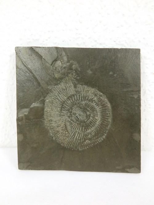 Bild 1 von 70er Amonit auf Schiefer