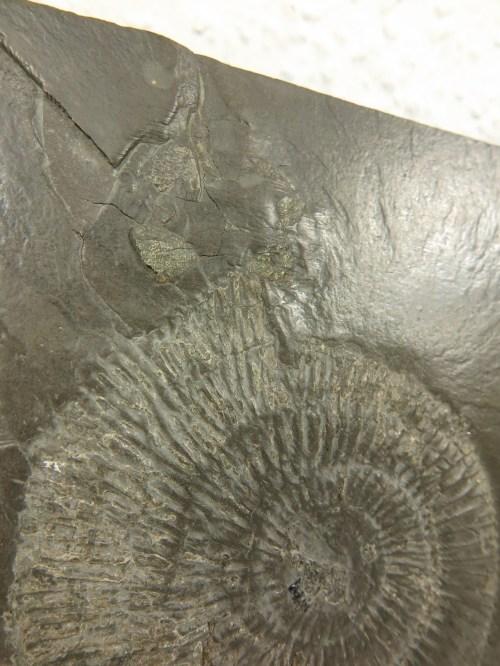 Bild 3 von 70er Amonit auf Schiefer