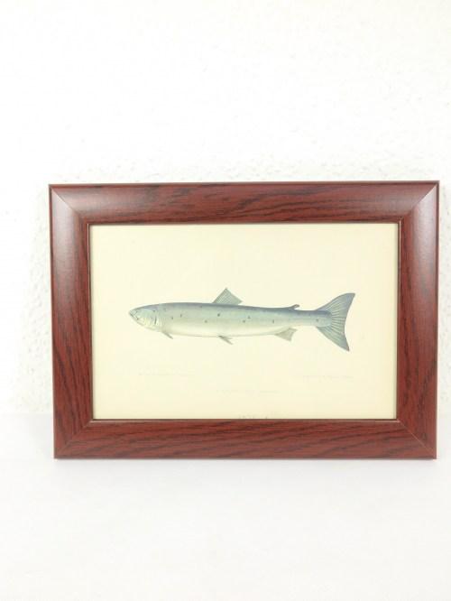 Bild 1 von Bildfisch Lachs von 1876