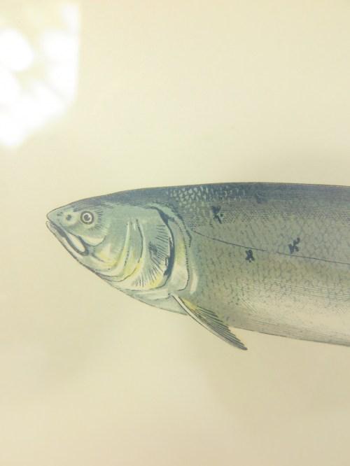 Bild 4 von Bildfisch Lachs von 1876