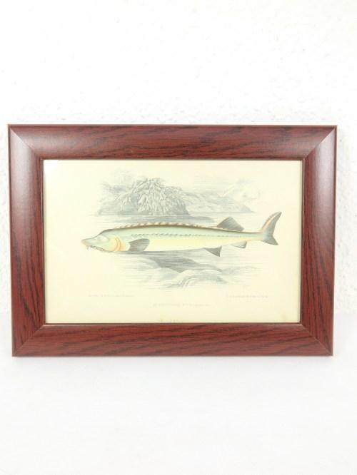 Bild 1 von Bild Stör Fisch von 1876