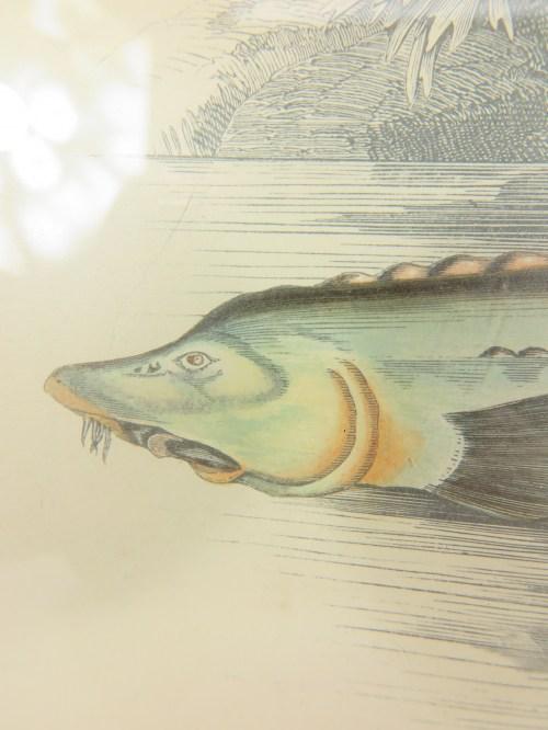 Bild 3 von Bild Stör Fisch von 1876