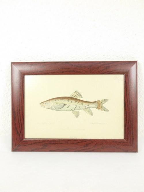 Bild 1 von Bild Fisch Barbe von 1876