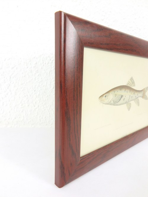 Bild 2 von Bild Fisch Barbe von 1876
