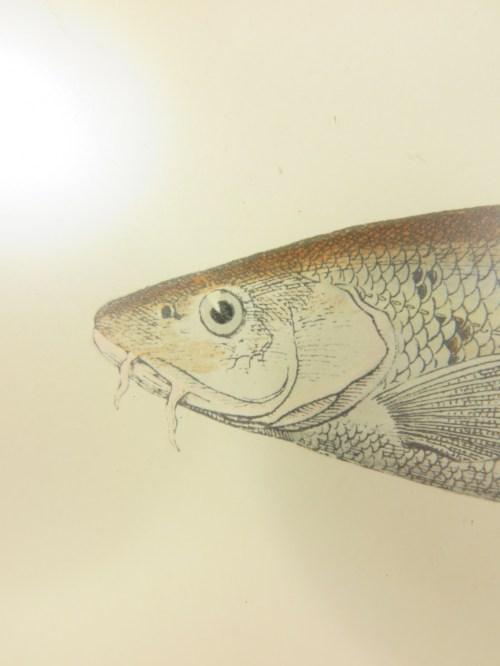 Bild 3 von Bild Fisch Barbe von 1876